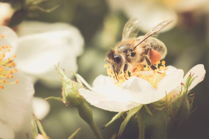 biene-sammelt-pollen